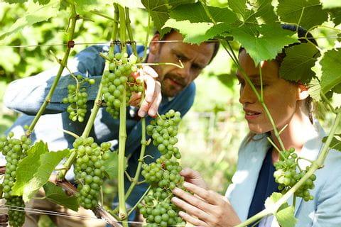 Skaarupøre vingård